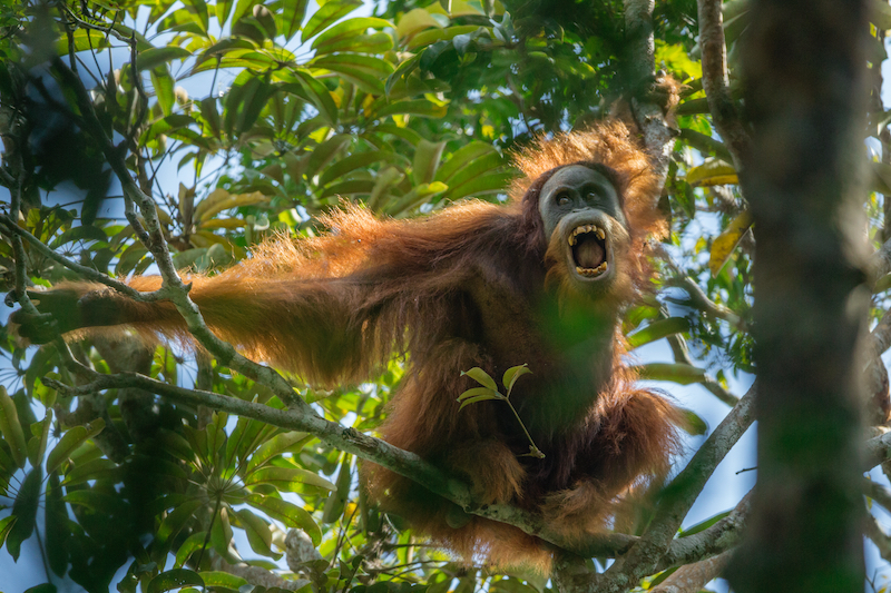 Winner of the Nature Stories Category at World Press Photo 2016.A young male Sumatran Orangutan threatens another male nearby in the Batang Toru Forest, North Sumatra Province, Indonesia.