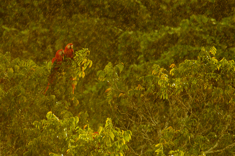 Scarlet Macaw (Ara macao) in the canopy at the Napo Wildlife Center in Yasuni National Park, Francisco de Orellana Province.