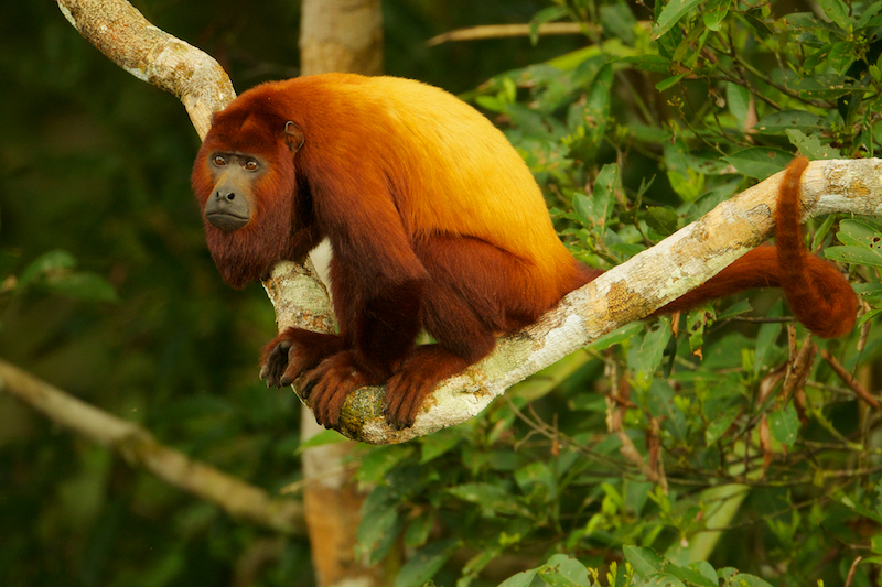 Red Howler Monkey (Alouatta seniculus) near the canopy tower at the Tiputini Biodiversity Station, Orellana Province, Ecuador.