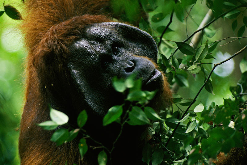 An adult male Bornean Orangutan (Pongo pygmaeus) feeding on leaves.