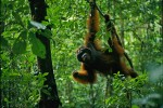 A wild adult male Bornean Orangutan hangs from a small tree while feeding on Diospyros fruits.