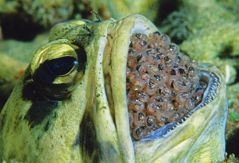 A giant jawfish holding a mouthfull of nearly ready to hatch eggs.  Jawfish hold their egg mass in their mouth for protection and aeration, only setting it down when they need to feed.  The jawfish lives in a burrow in the bottom, usually in coral rubble next to a reef.