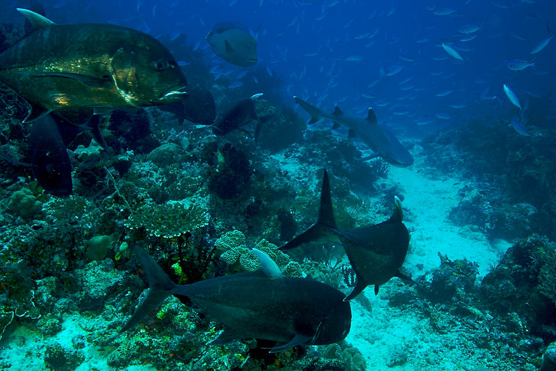 Large jacks and a Napolean wrasse (top center) keep an eye on a hunting white tip reef shark on a reef with a school of fusiliers in the background.