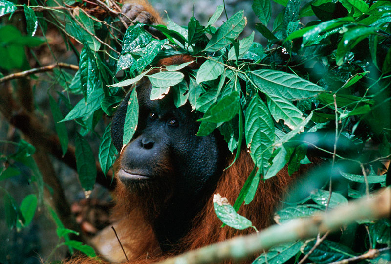 A wild adult male Bornean Orangutan holds a leafy branch over his head as it starts to rain.