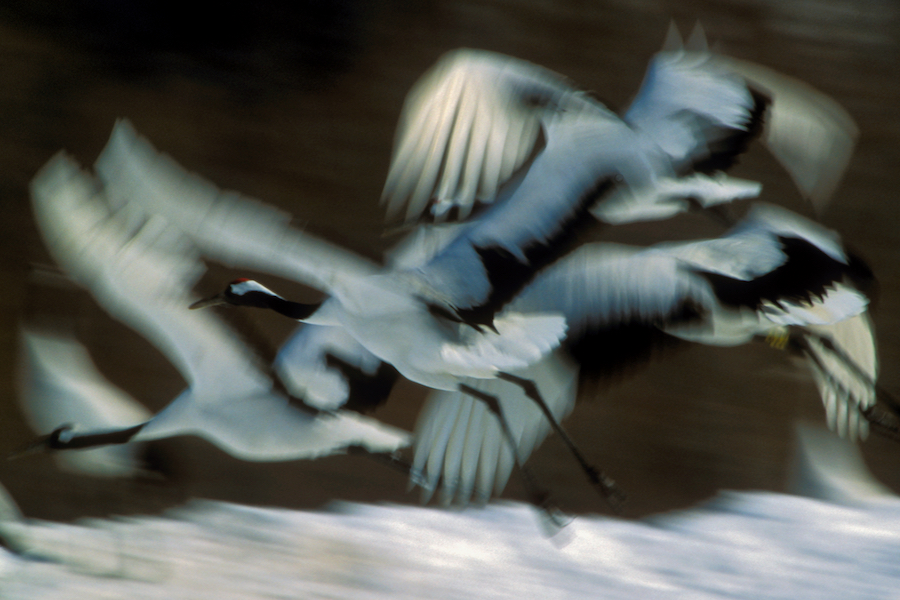 Red-crowned Cranes flying, Hokkaido, JapanEndangered Species (IUCN Red List: EN)