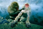 A Japanese Macaque c or Snow Monkey, is groomed by her companion while she soaks in a hot spring.