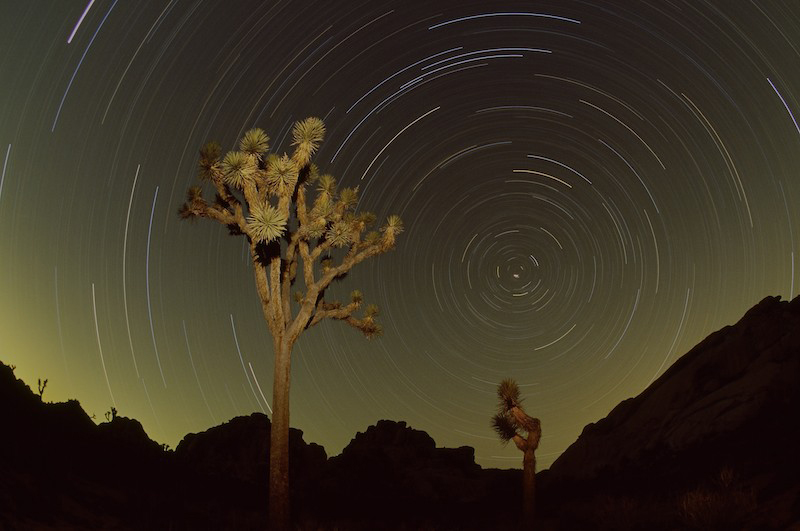 Star trails and Joshua trees (Yucca brevifolia) at night in Joshua Tree National Park, California.