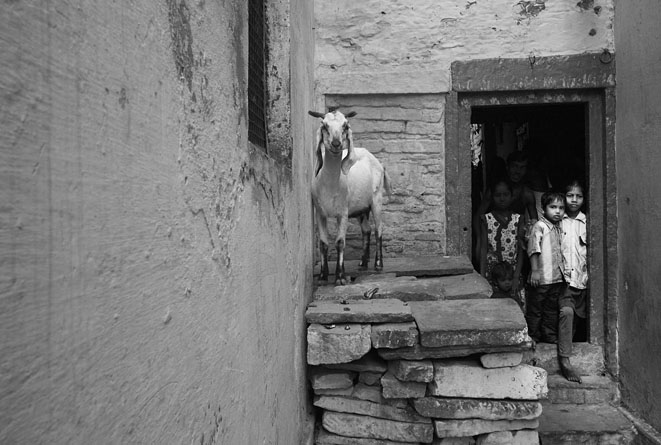 Sheep_and_kids_Varanasi_8