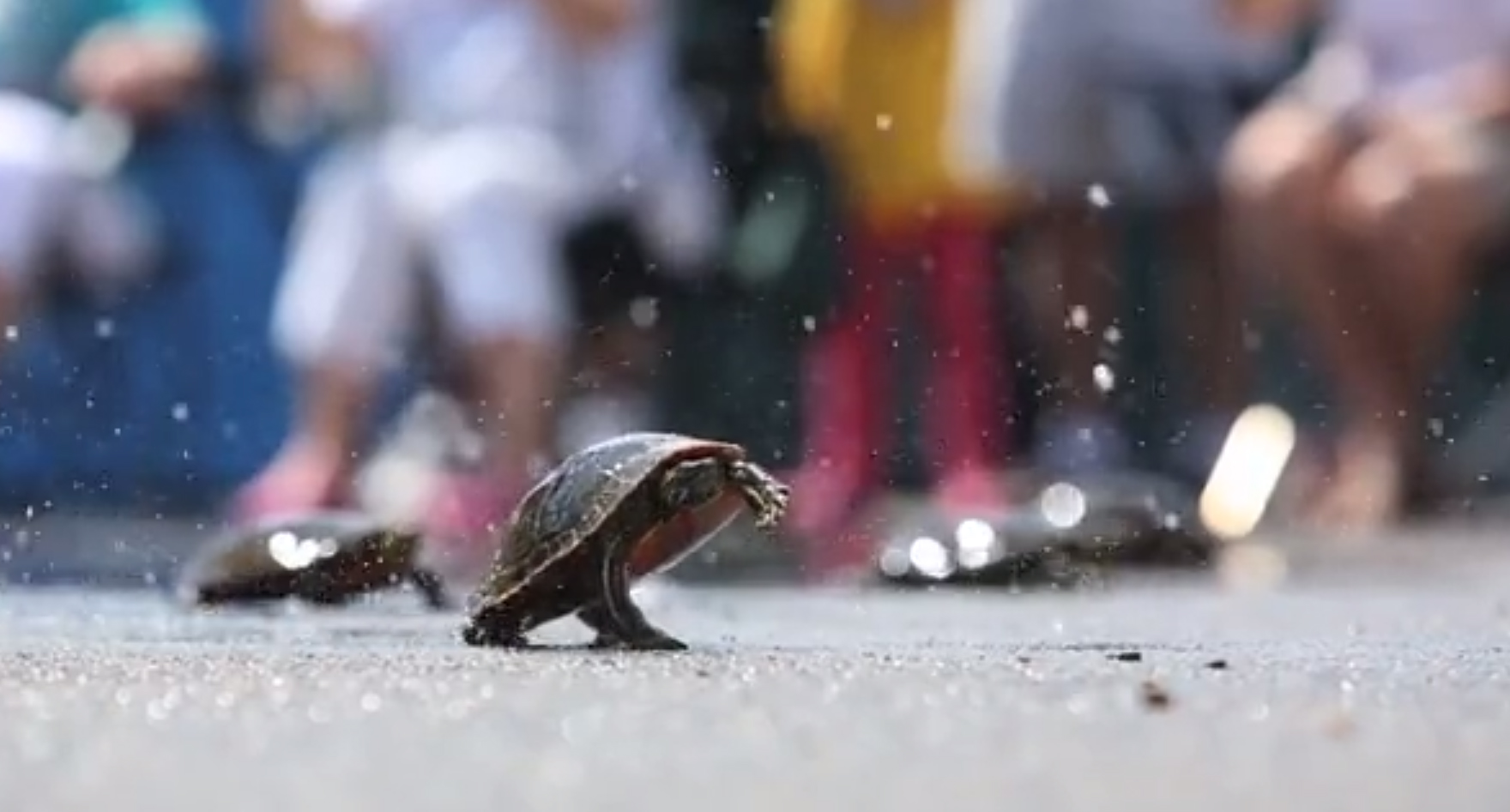 Every Wednesday during the summer, a downtown Nisswa, Minn. parking lot transforms into a race track and the streets fill with families. For 50 years, turtle racing has been a highlight for the Crow Wing County community and today third-generation racers compete for the title of grand champion.