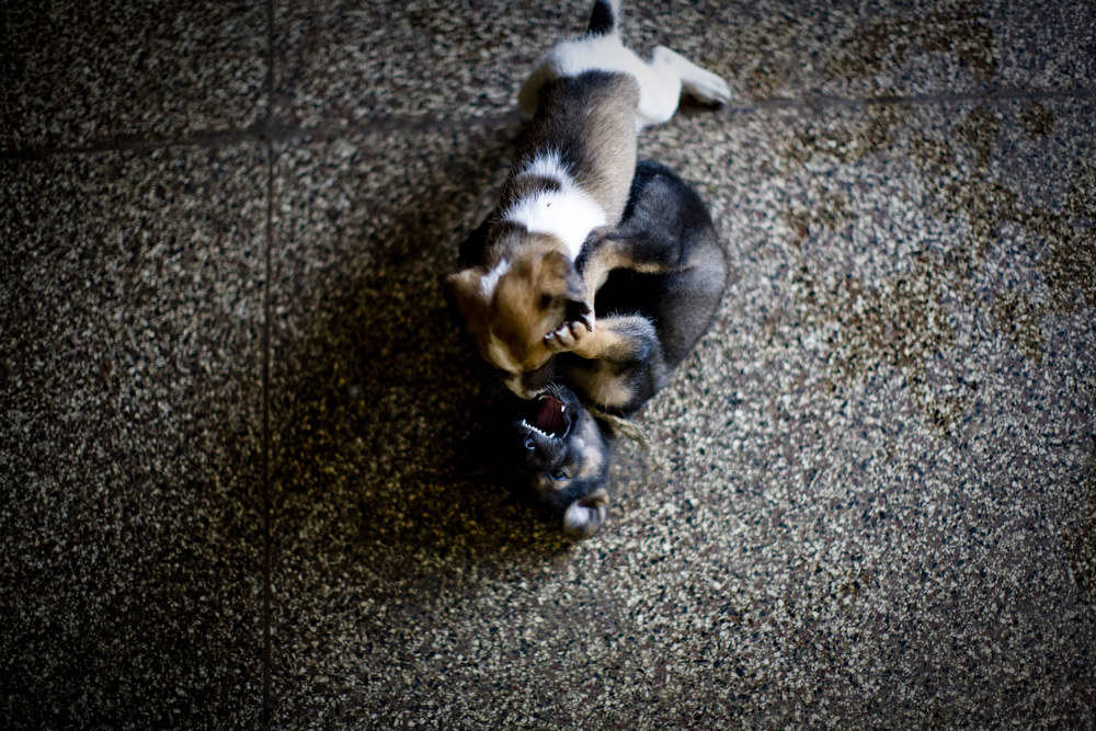 Two puppies fight at former President Tubman's mansion in Harper, his hometown, now filled with squatters. May, 2010.