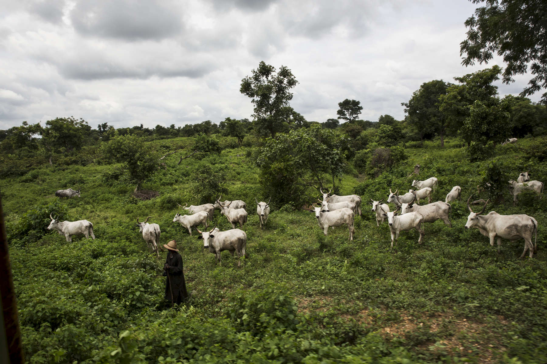 A Fulani herder waits with his cows to cross the tracks as the train passes through central Nigeria.
