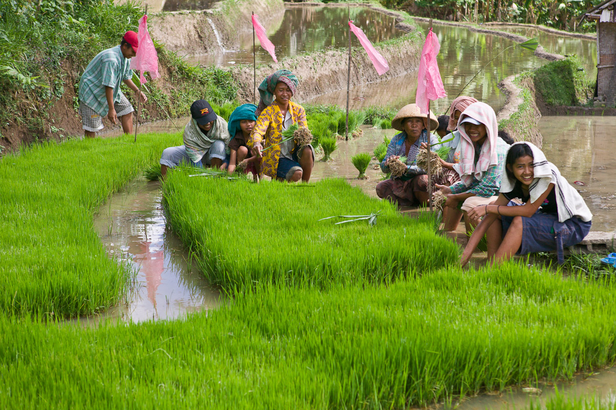 Workers seledt young rice seedlings to plant. Photo by Jay Graham