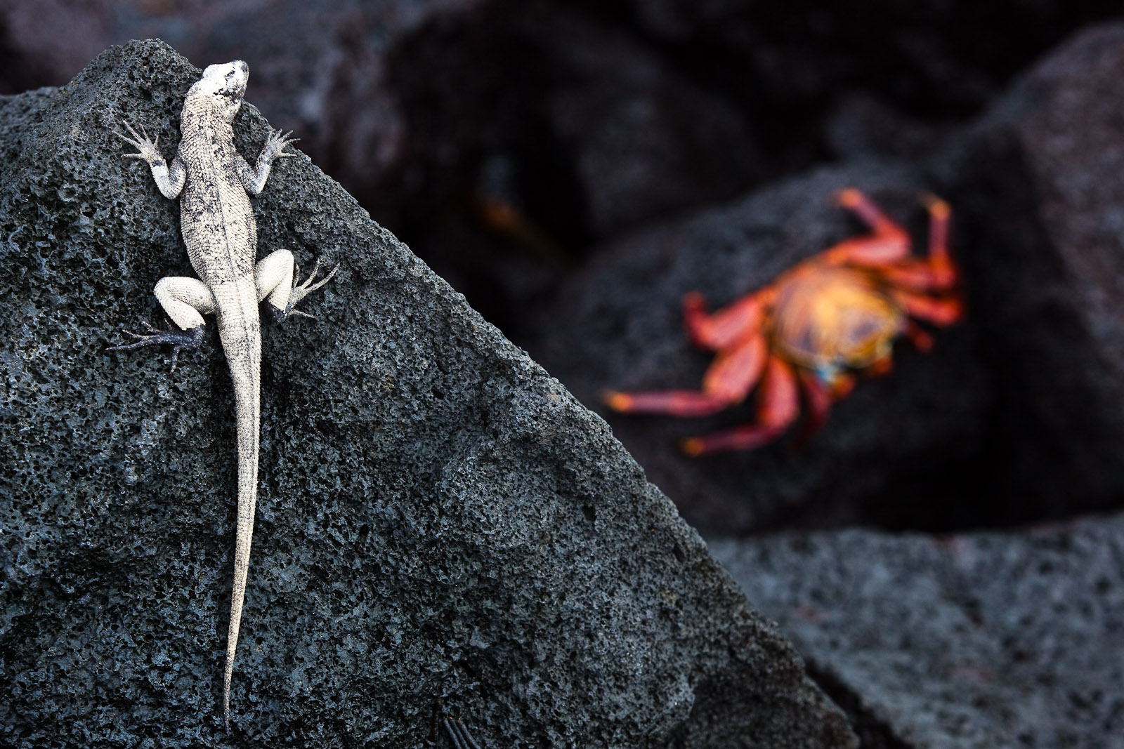 A lava lizard turns white as it gets ready to molt. He's got his eye on a Sally Lightfoot Crab on the lava below him. Photo by Jay Graham