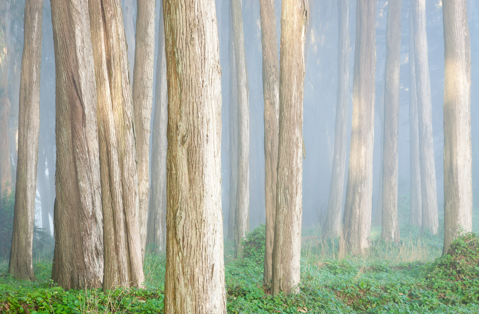 Cypress trees colored by the early morning light and fog.