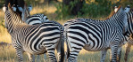 Zebras in the Mosi-oa-Tunya Nature Reserve, Zambia near the Toko Leyla Safari Camp on the Zambezi river. Todo Leyla is a Wilderness Safaris camp. Photo © 2012 Jay Graham, all rights reserved