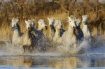 The White Camargue Horses of southern France