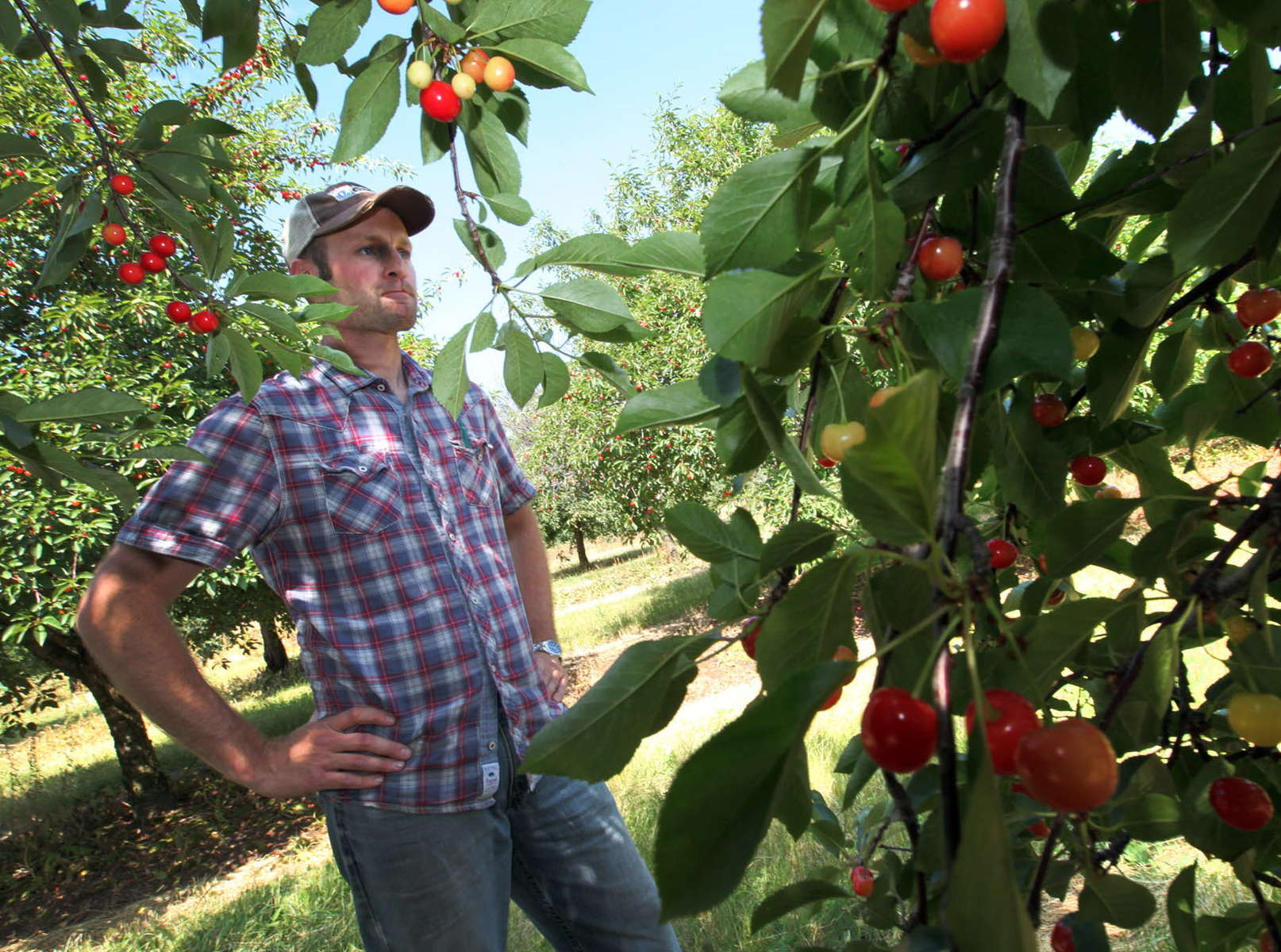 The Door County cherry harvest was decimated by warm temps in March, followed by a hard freeze. This year's crop will likely yield only 500,000 pounds, and cherry lovers will have to go to Door. Co. to get it.
