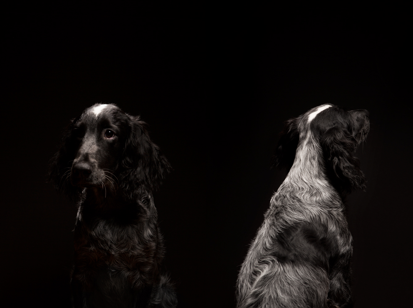 Bowie.blue picary spaniel