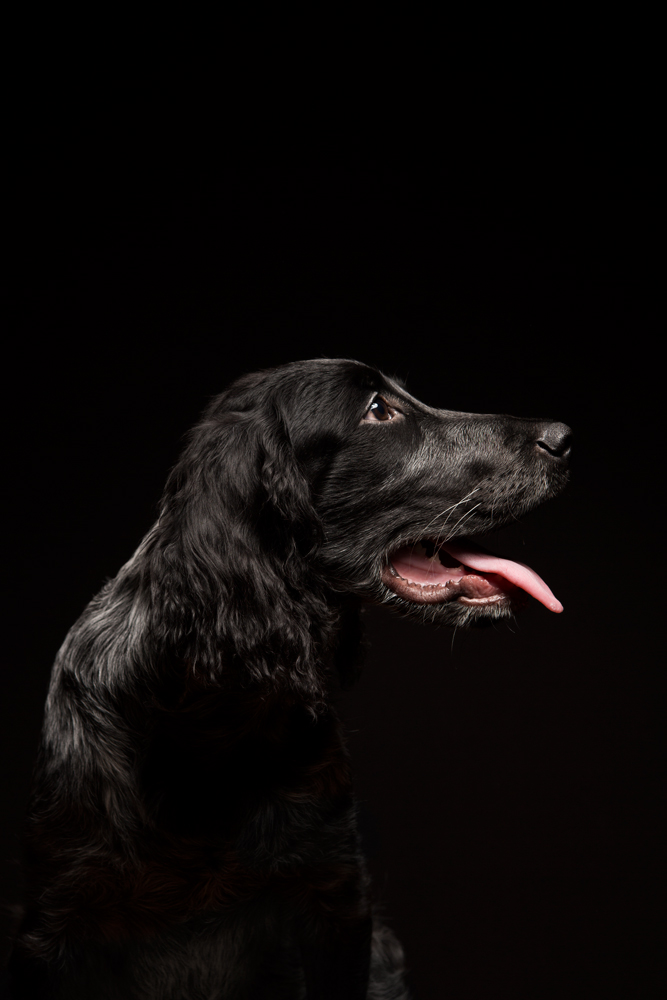 Bowie. blue picary spaniel