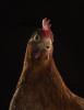 chickenportraits02