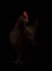 chickenportraits03
