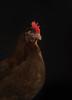 chickenportraits09