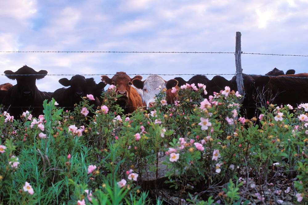 Photograph Entitled Cows And Spring Flowers
