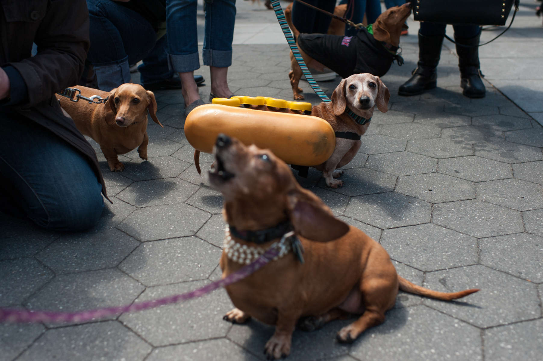 Stella, a thirteen-year-old Dachshund, makes a statement in her hot-dog costume at the Dachshund Friendship Club Spring Fiesta in Washington Square Park. (Apr. 26, 2014)Photo by Nancy Borowick
