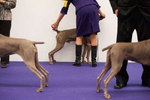Weimaraners practice their posture and pointing before heading to the ring at the 137th Westminster Kennel Club Dog Show in Manhattan. (Feb. 12, 2013)Photo by Nancy Borowick
