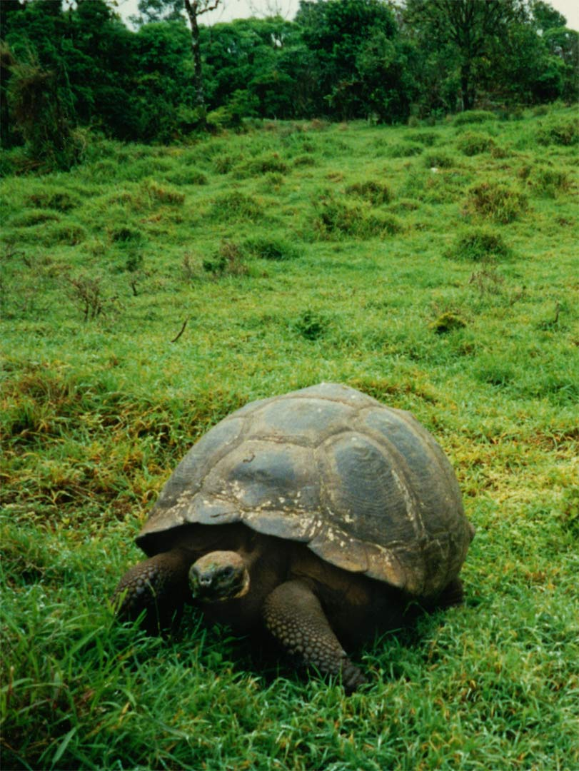 The Galápagos Tortoise is the largest living species of tortoise and 10th-heaviest living reptile. They have life spans in the wild over 100 years and there one of the longest-lived vertebrates. A captive tortoise lived at least 170 years. Tortoise Ranch - Santa Cruz Island, Galápagos - Ecuador