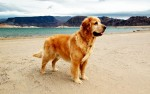 My childhood dog, Watson Golden Bear proudly standing guard. Lake Mead - Nevada