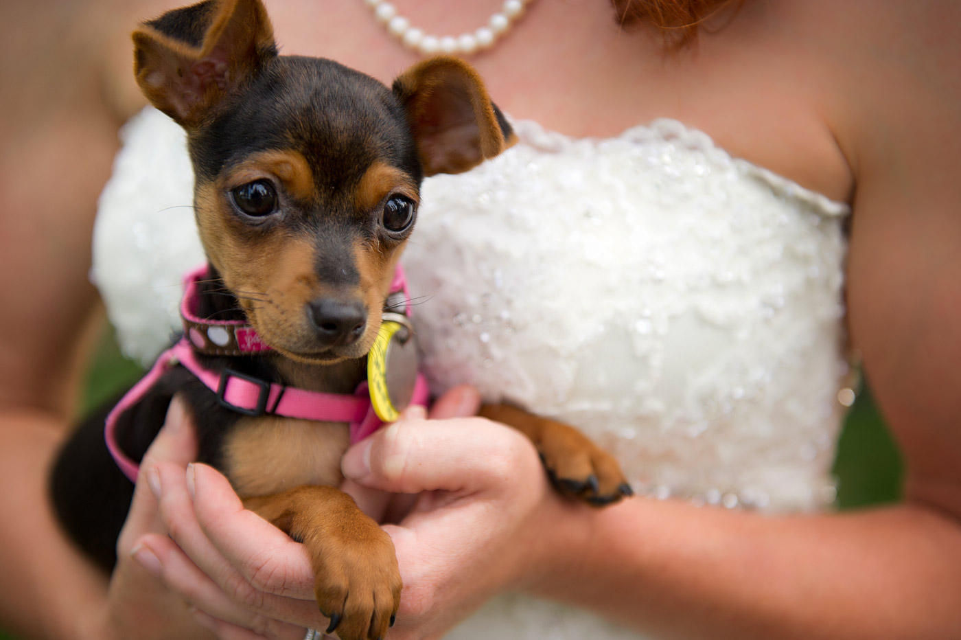 bride holding her chihuahua.