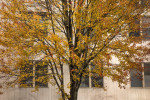 Fall_Tree_Windows-