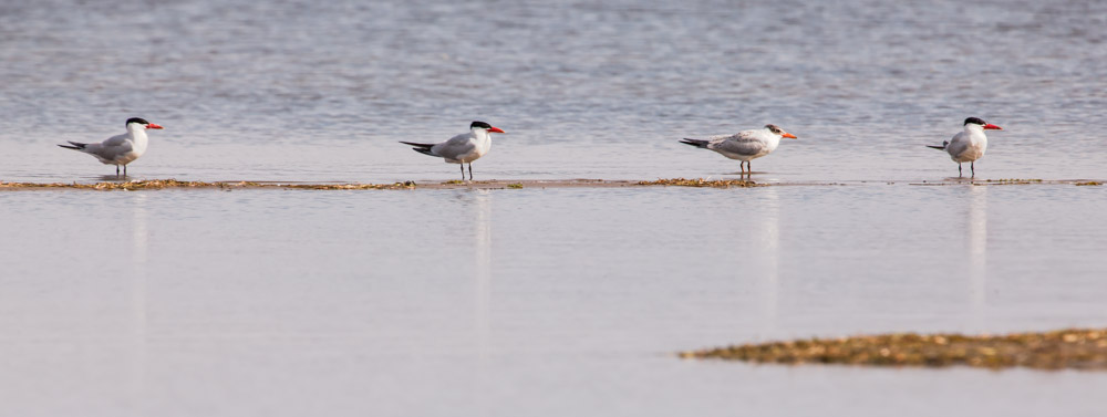 Caspian Terns in Formation
