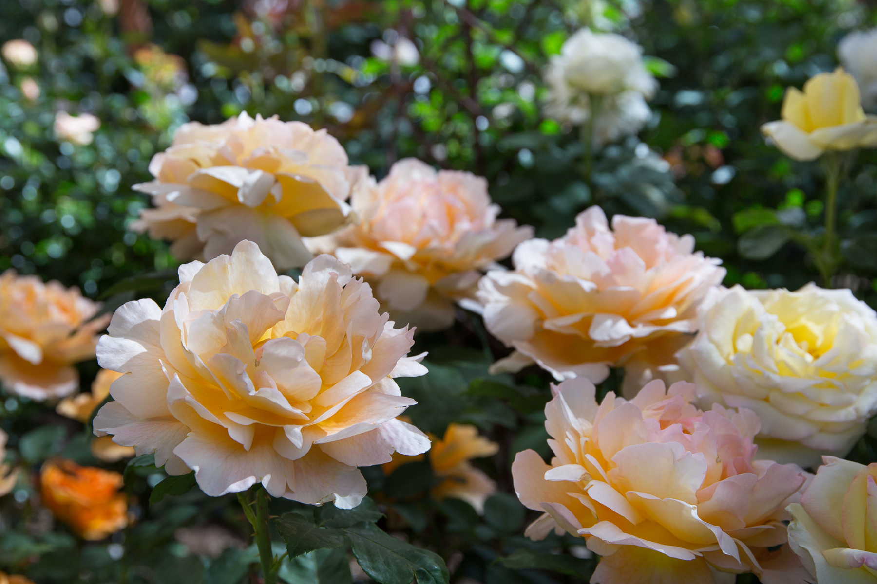 roses-web-_4-of-10_
