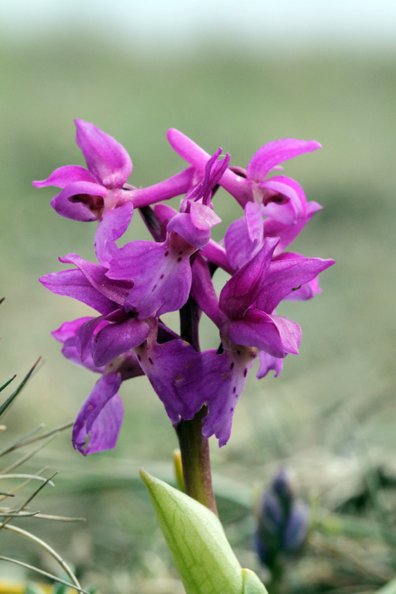140603-Early-Purple-Orchid2