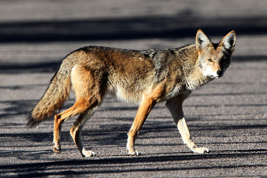 Arizona-Coyote-beautiful