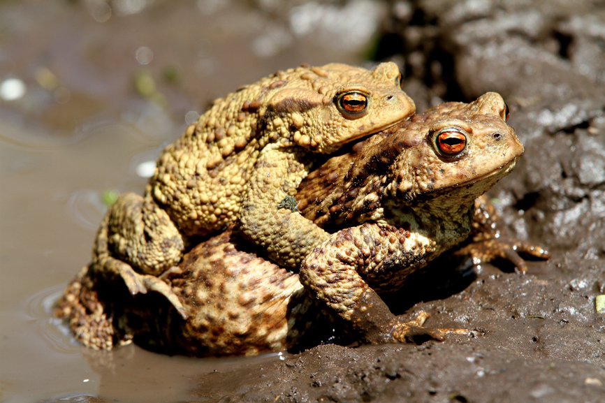 Common-Toads
