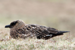 IMG_0454-Great-Skua