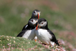 IMG_0863-Puffins-threes-a-crowd