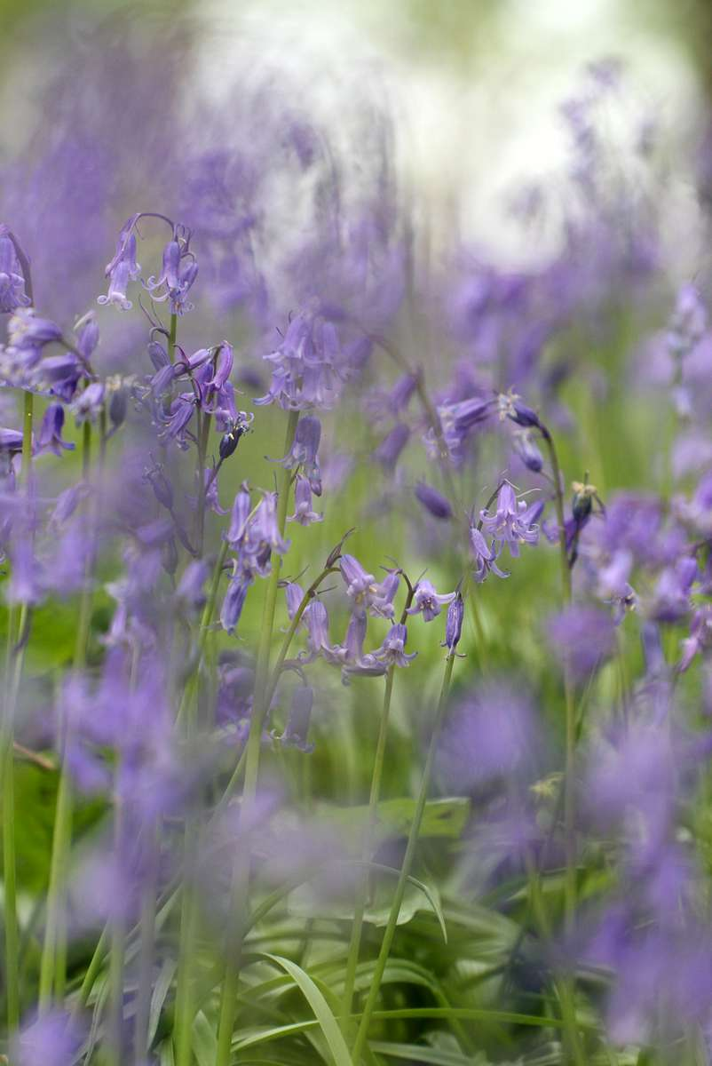 IMG_7211-Kent-English-Bluebell-woodland-edit
