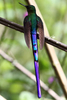 IMG_7241-Violet-tailed-Sylph-wings-apart