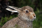 IMG_9826-Mountain-Hare2
