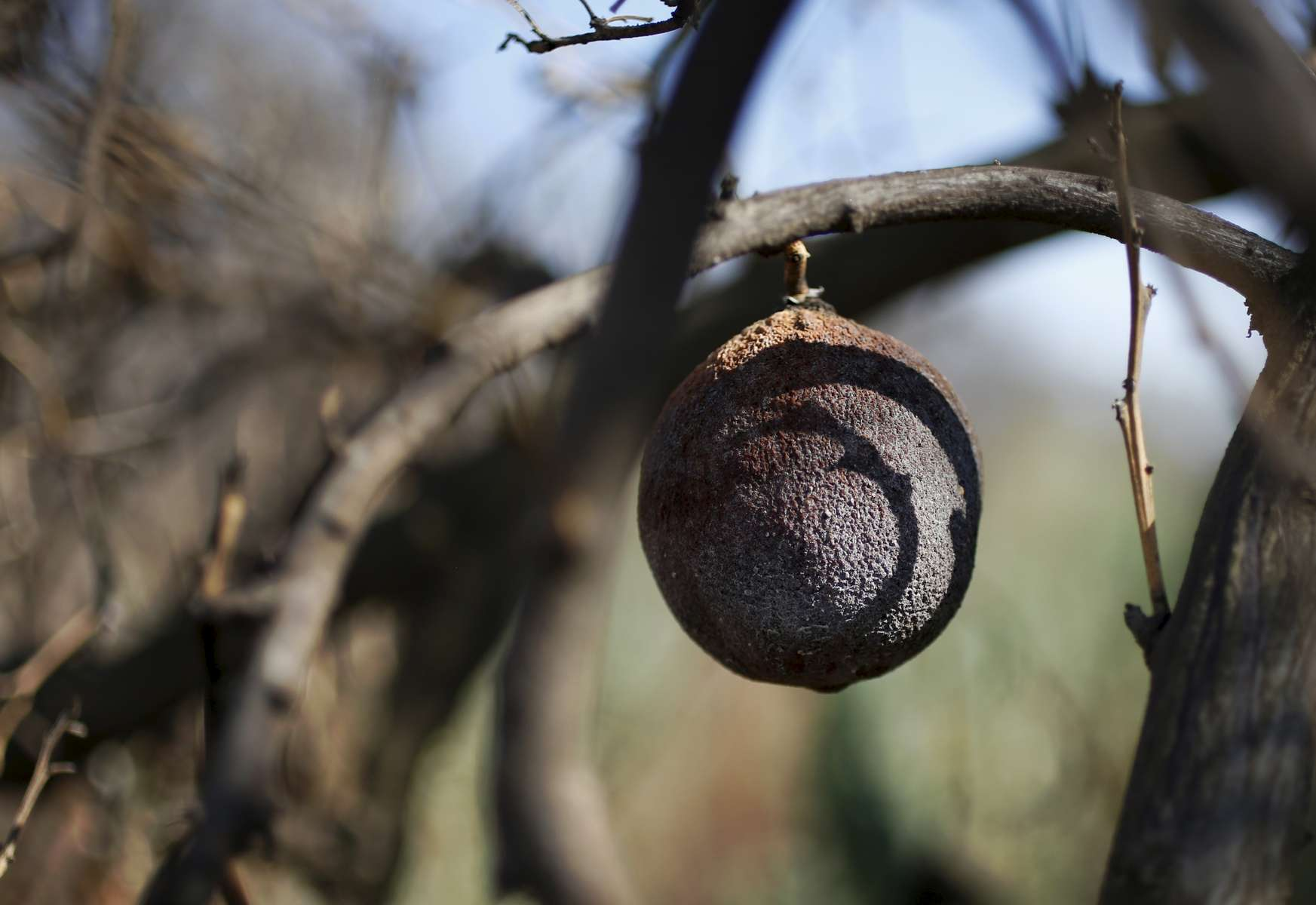 A dead and sun-burned orange hangs from a tree June 7, 2015 in a dried up orchard that was let go by farmers to save water in Lindsay, Calif.