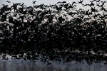 Hundreds of White-faced Ibis take off at dawn from a pond created from pumped ground water at Merced National Wildlife Refuge April 16, 2015 in Merced, Calif. The refuge is a restored wildlife area that reflects the habitat that used to be found in the Central Valley before agriculture took over the region. The small pond provides much-needed breeding and wintering habitat for thousands of birds. Because of the drought, the refuge received no surface water allocation and were forced to pump groundwater to keep up the wetlands and the crops they grow for habitat.