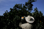 Esteban de Santiago harvests oranges in a Washington Navel orange orchard Feb. 14, 2015 in Exeter, Calif. As California enters into the fourth year of drought and farmers lose orchards and fallow fields, migrant worker jobs are becoming more scarce.