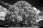 Buthan-Infrared-Buddhism-Banyan-tree-Photo-by-Cyril-Eberle_7753