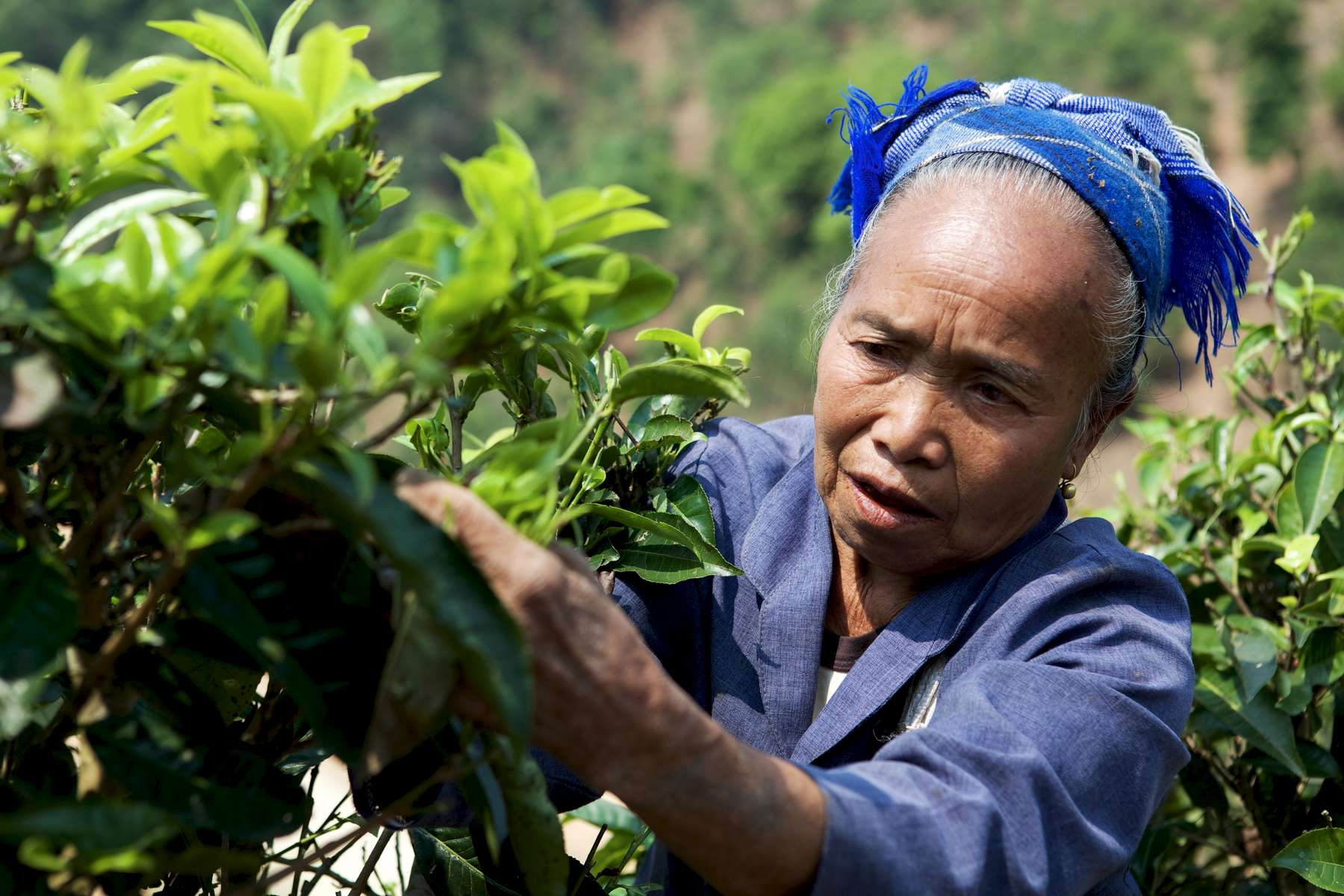 laos-north-phongsali-tea-picker-photo-by-cyril-eberle-CEB_7917