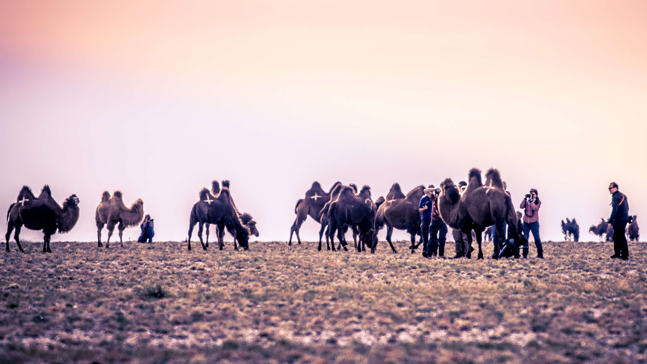 Shooting the camels.  Photo Courtesy of Mongolia Photo Tour